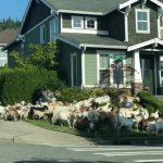 【ニュース】草を食い尽くした除草用ヤギ、草を求めワシントンの住宅地に数十匹脱走 牧羊犬「UTωT)」