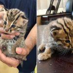 【動物・いきもの】【台湾】タイワンヤマネコ赤ちゃん2匹、側溝に転落 市民に保護される(画像あるよ)