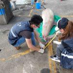 【ニュース】【国際】マカオで2日連続イルカの死骸が見つかる [シャチ★]