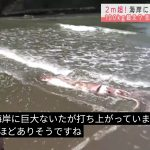【画像ネタ】【地球終了のおしらせ】新潟の海岸に巨大イカが現れる