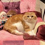 【悲報】ヒカキンの猫、太りすぎて限界突破
