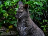 【動物・いきもの】【墺】オーストリアの野原でカンガルーが発見される【動画】[09/05]