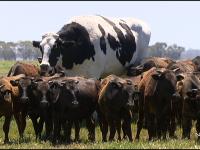 【動物系】【どうぶつ】〈画像〉高さ194センチ重さ1.4トン、巨大な牛がオーストラリアに出現。大きくなりすぎて命が助かる