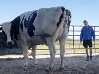 【海外全般のニュース】【画像】 デカすぎる牛(体高194cm 重量1.4? 平均の2倍)、デカすぎて屠殺機に入らず助かる