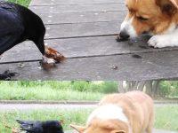 カラスが頭良すぎて他の動物にエサをあげてる事が判明wwwwww【オカルト・不思議】